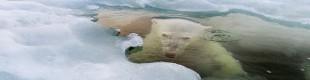 polar-bear-underwater-sitting_74603_600x450