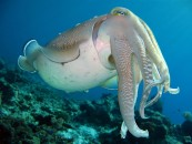 hooded-cuttlefish